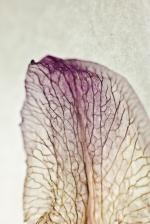 Dried Iris Petal - Print-1
