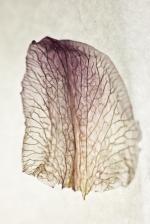 Dried Iris Petal - Print-2