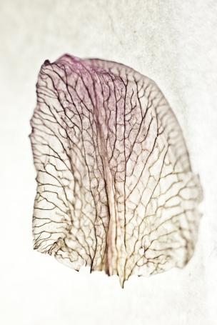 Dried Iris Petal - Print-3