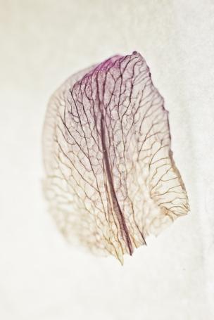 Dried Iris Petal - Print-4